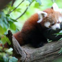 Dan crvenih panda