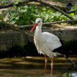 Svjetski dan ptica selica ovoga vikenda proslavite na jedinoj hrvatskoj adresi dalmatinskih pelikana – zagrebačkom Zoološkom vrtu!